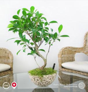 Galaxy Bonsai-Schale (XXL, bepflanzt)